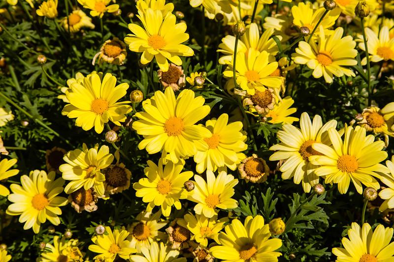 Argyranthemum, Beauty Yellow