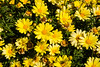 Argyranthemum, Beauty Yellow