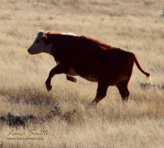 Bull Dance sig
