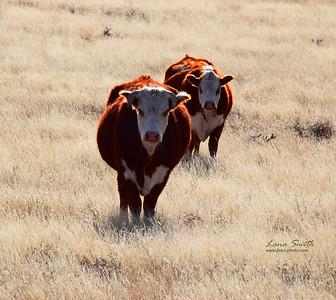 Bull Watch sig