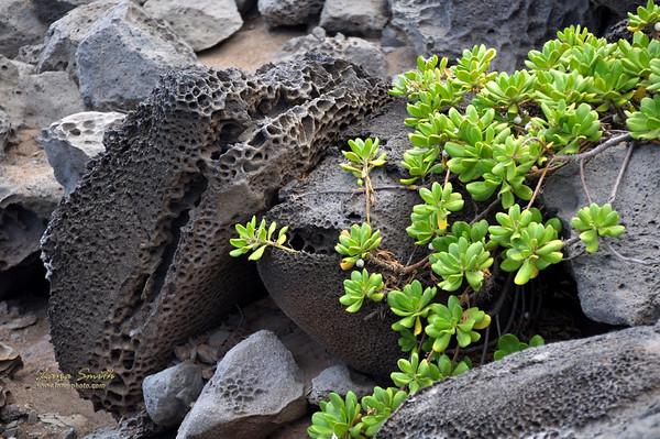 Hawaii Maui Volcanic Rocks and Green plant sig