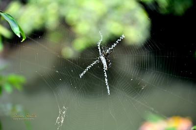Hawaii Maui spider sig