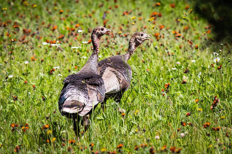 Wild Turkey Hens