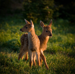 Blacktail fawns in alpine meadow, Olympic National Park