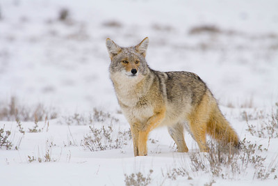Hunting coyote, Yellowstone National Park