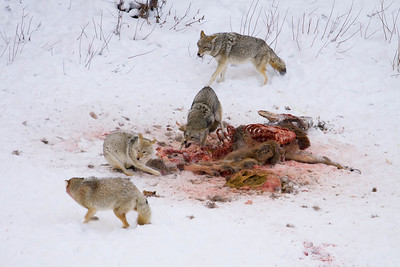 Coyotes feeding on Elk kill, Yellowstone National Park