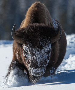 Massive Bison bull in snow, Yellowstone National Park