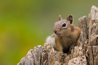 Golden-mantled ground squirrel on tree stump, Glacier National Park