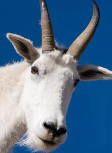 Curious mountain goat, Mt Evans Wilderness