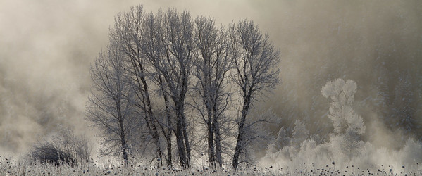 Cottonwoods in winter, Grand Teton National Park