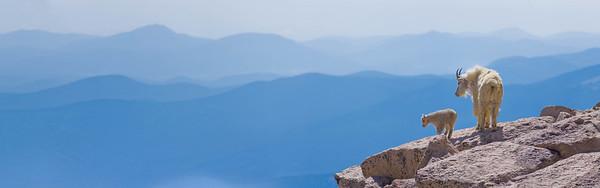 Mountain goats at 14,000 feet, Mt Evans Wilderness