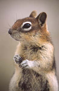Golden-mantled Ground Squirrel, Yellowstone National Park