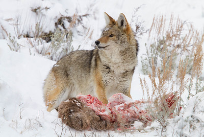 Coyote feeding on Elk carcass, Yellowstone National Park