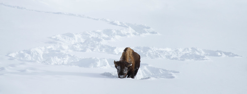 Bison ploughing through deep snow in Lamar Valley, Yellowstone National Park