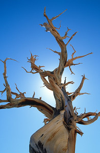 Bristlecone Pine, Great Basin National Park