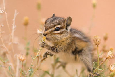 Young chipmunk in flowers, Bryce Canyon National Park