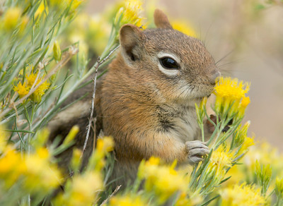 Golden-mantled ground squirrel, Bryce Canyon National Park