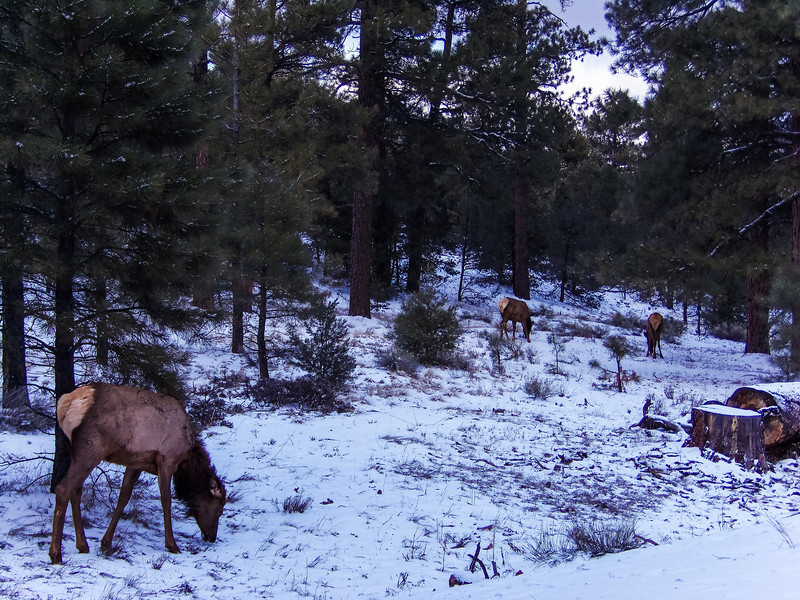 Animals in the Grand Canyon snow.