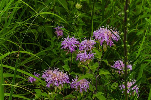Minneapolis - Eloise Butler Wildflower Garden 2013