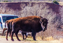 buffalo at Caprock Canyon state park
