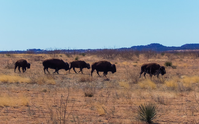 Buffalo at Caprock Canyons State Park Texas