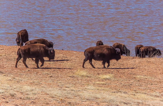 Buffalo herd drinking texas caprock canyons