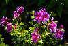 """Geranium """" Rosebalm"""""""