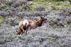 Grand Teton National Park, WY - Elk