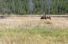 WY-Yellowstone NP-Elk Bull-2005-09-02-1002