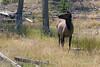 WY-Yellowstone NP-Elk-2005-09-02-0005