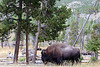 WY-Yellowstone NP-Bison-2005-09-02-0002