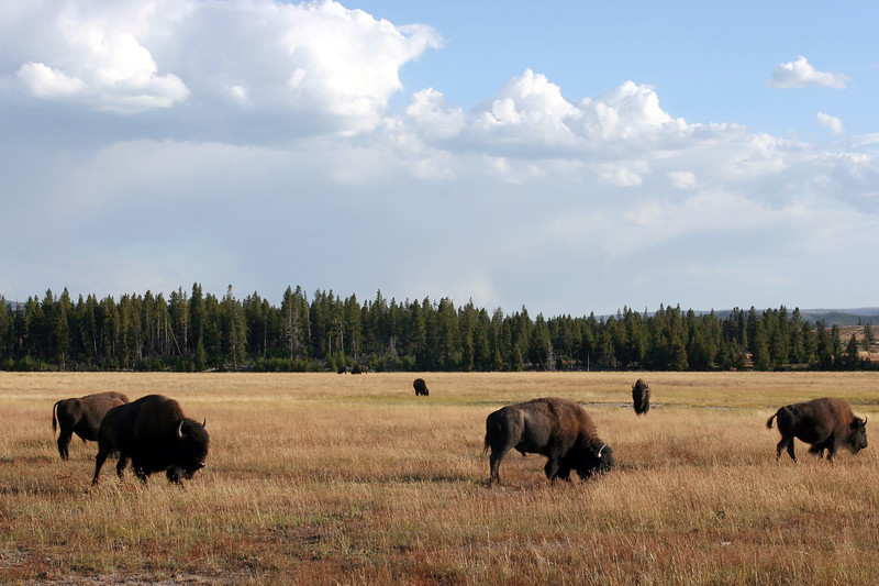 WY-Yellowstone NP-Bison-2005-09-02-0008