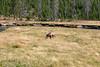 WY-Yellowstone NP-Elk Bull-2005-09-02-0001