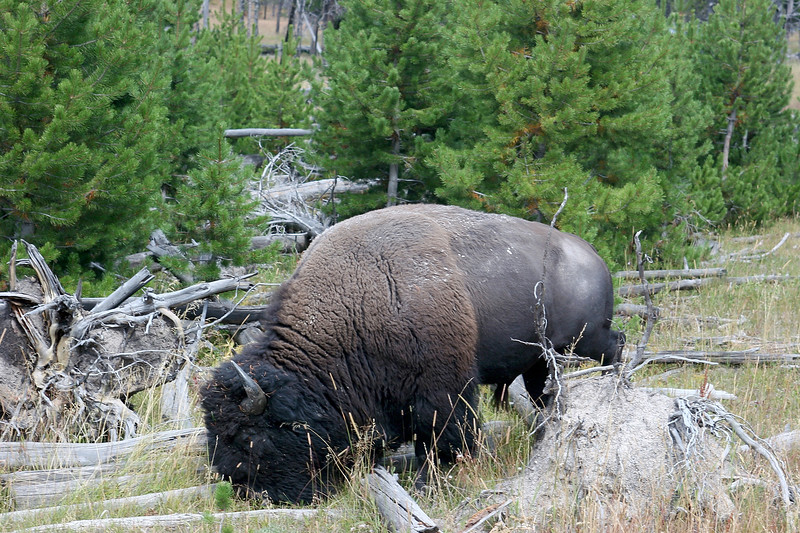 WY-Yellowstone NP-Bison-2005-09-02-0003