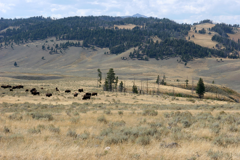 WY-Yellowstone NP-Bison-2005-09-03-0005