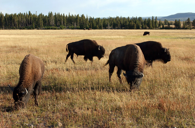 WY-Yellowstone NP-Bison-2005-09-02-0007