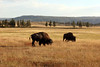 WY-Yellowstone NP-Bison-2005-09-02-0009