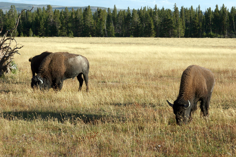WY-Yellowstone NP-Bison-2005-09-02-0006
