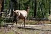 WY-Yellowstone NP-Elk-2005-09-02-0001