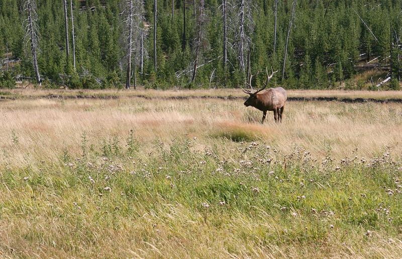 WY-Yellowstone NP-Elk Bull-2005-09-02-0002