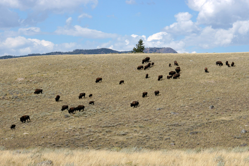 WY-Yellowstone NP-Bison-2005-09-03-0004