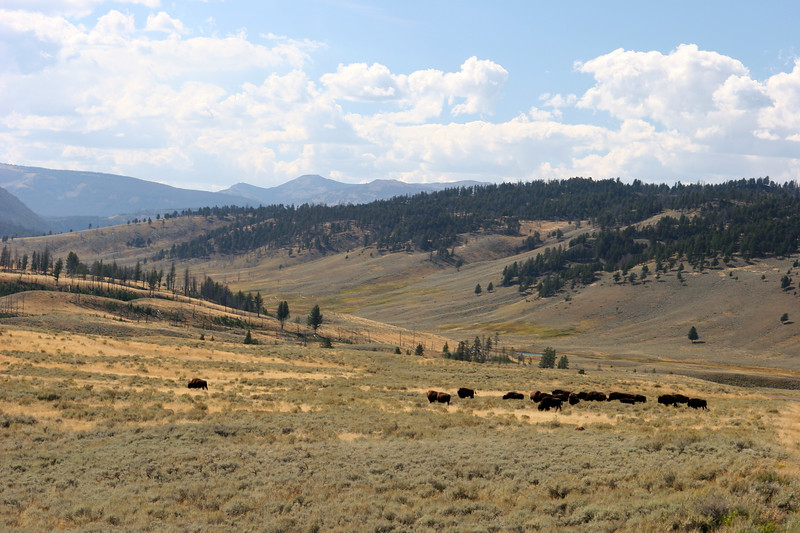 WY-Yellowstone NP-Bison-2005-09-03-0006