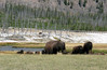 WY-Yellowstone NP-Bison-2005-09-03-0003