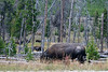 WY-Yellowstone NP-Bison-2005-09-02-0001