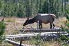 WY-Yellowstone NP-Elk-2005-09-02-0004