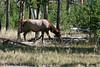 WY-Yellowstone NP-Elk-2005-09-02-0002