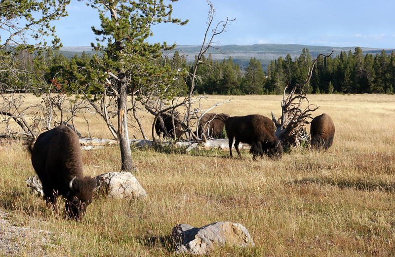 WY-Yellowstone NP-Bison-2005-09-02-0005