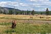 WY-Yellowstone NP-Elk-2005-09-02-0007