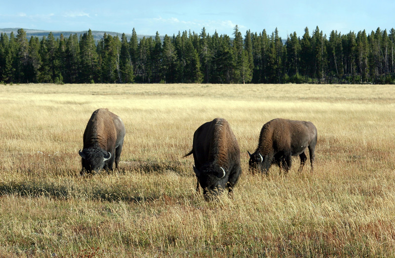 WY-Yellowstone NP-Bison-2005-09-02-0004