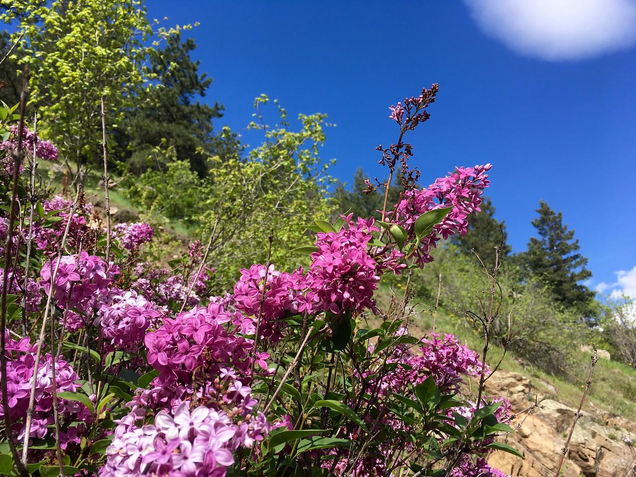 Lilac... makes me miss Ukraine
